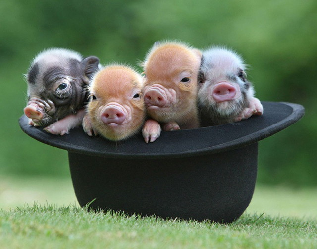 MiniaturePigs05_1