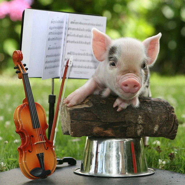MiniaturePigs06_1
