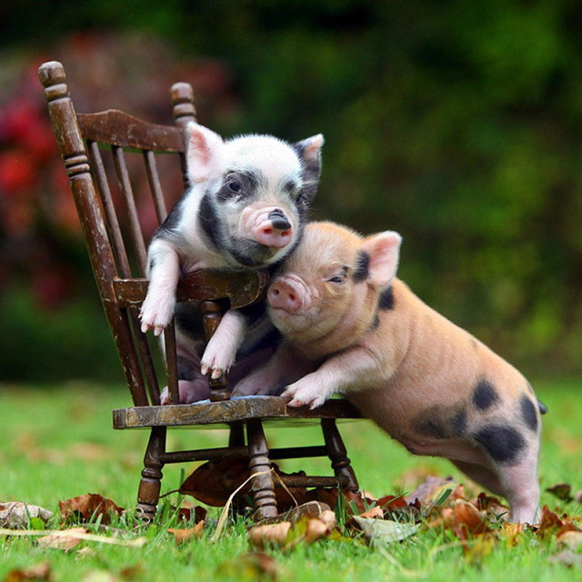 MiniaturePigs07_1