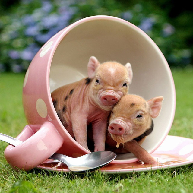 MiniaturePigs08_1
