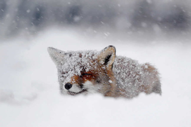 amazing-fox-photos-7_1