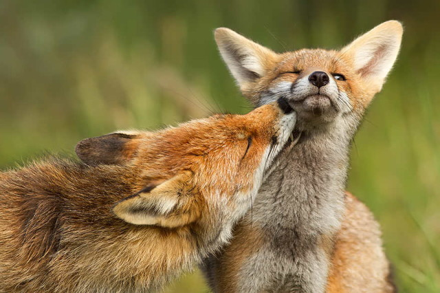 amazing-fox-photos-9_1