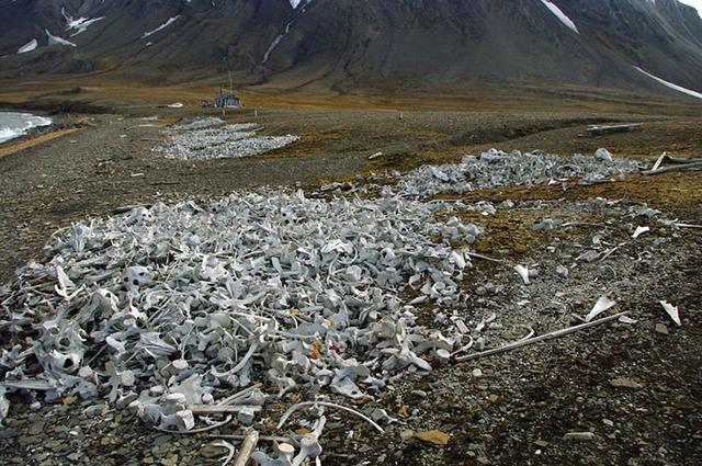 beluga-whale-bones-3[9]
