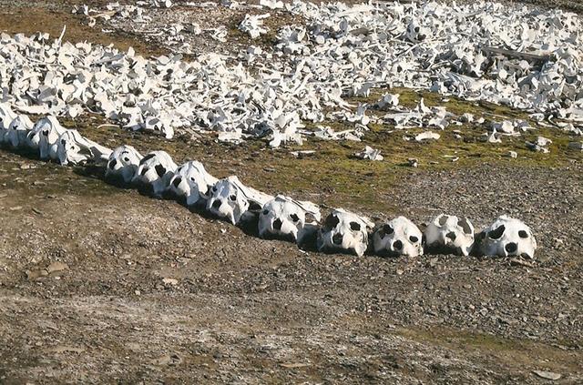 beluga-whale-bones-5[5]