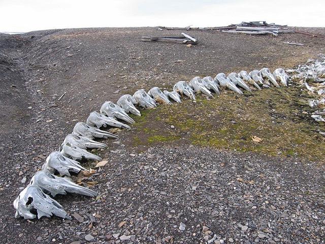 beluga-whale-bones-7[5]
