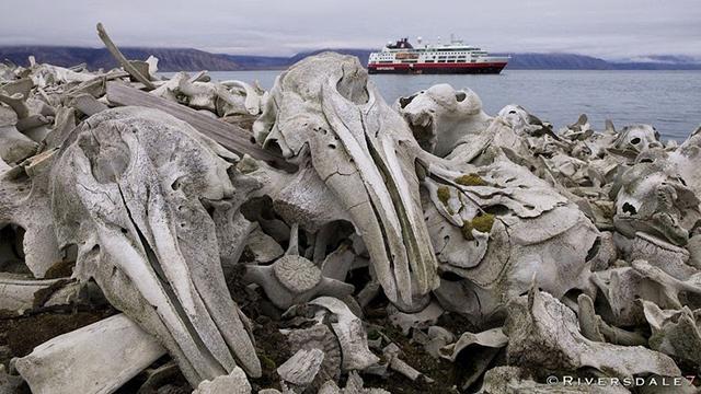 beluga-whale-bones1-1[2]