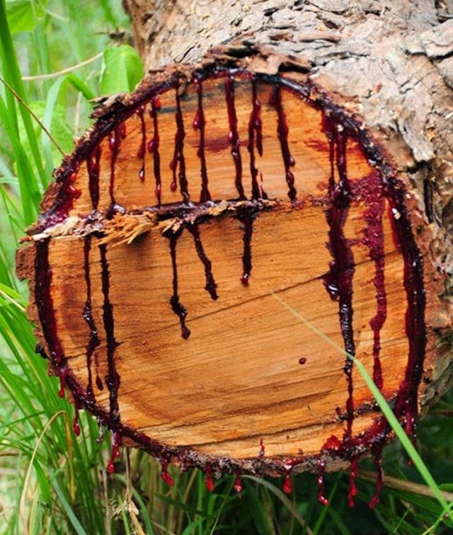 bloodwood-tree-1[4]