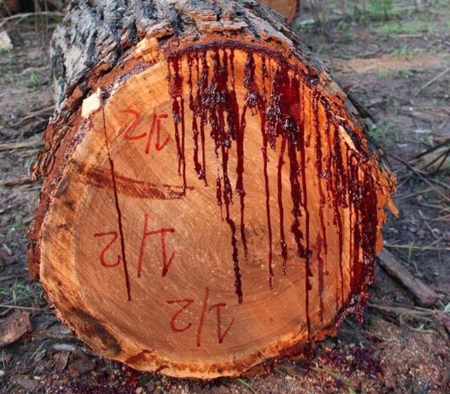 bloodwood-tree-3[4]
