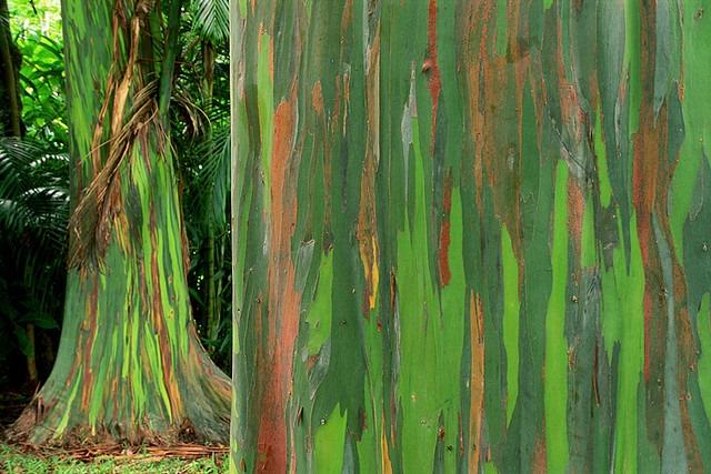 rainbow-eucalyptus-3[3]