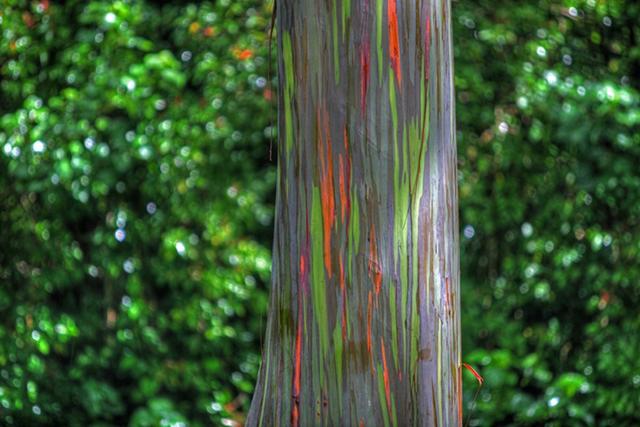 rainbow-eucalyptus-5[2]