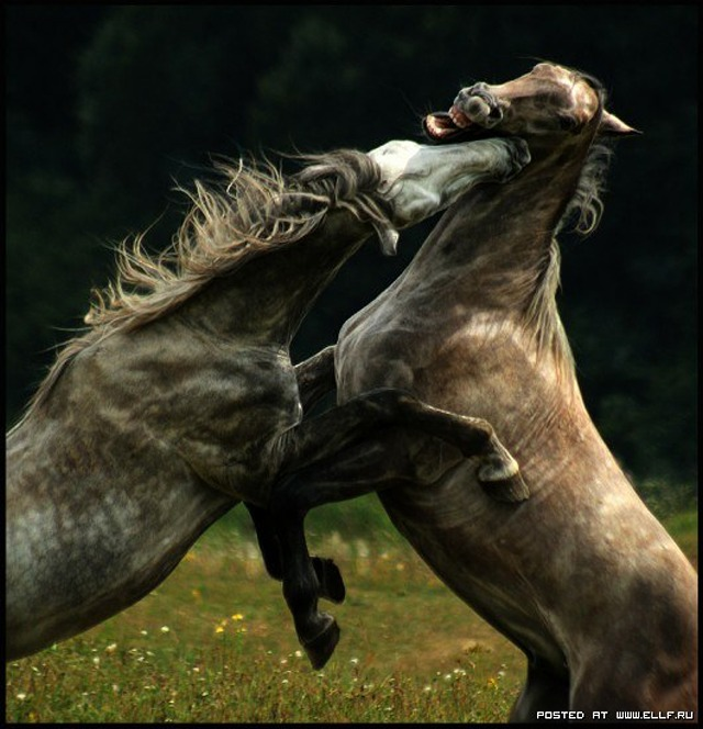 1246987316_horse-fight-horse-beauty-and-power-horse-fight