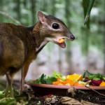 Маленький олененок: чудо природы под названием канчили