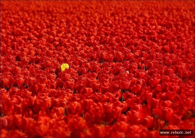 Tulips_012