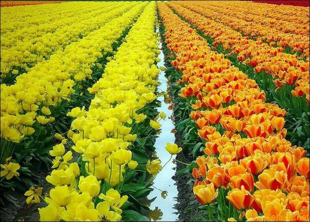dutch_tulips_009