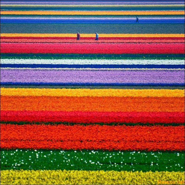 dutch_tulips_013
