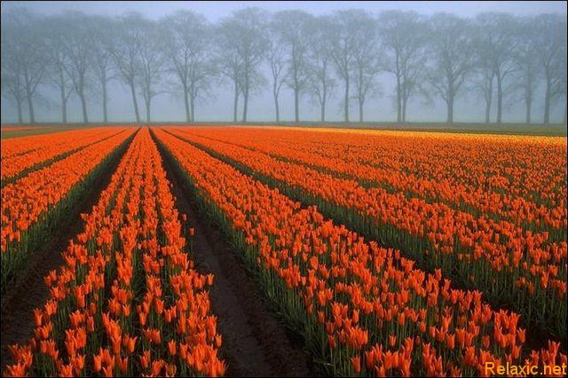 dutch_tulips_014
