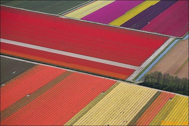 dutch_tulips_015