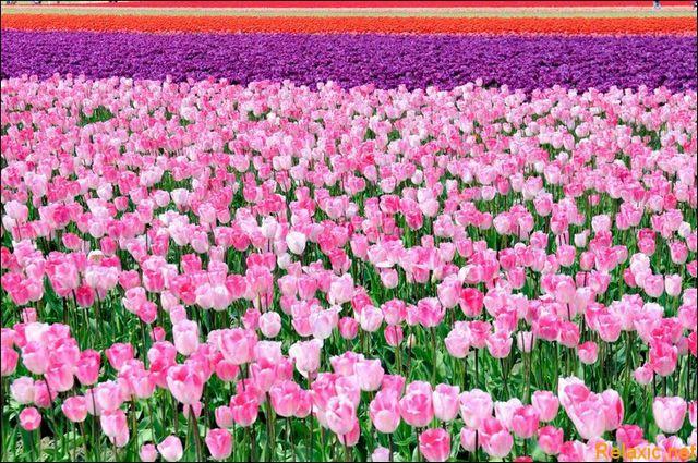 dutch_tulips_017