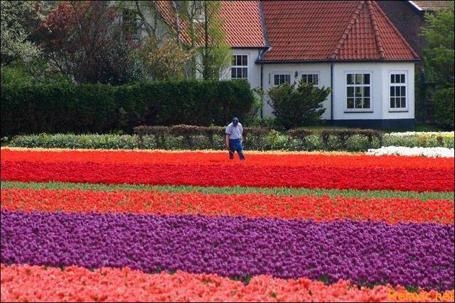 dutch_tulips_024