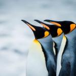 Немного о Королевском пингвине