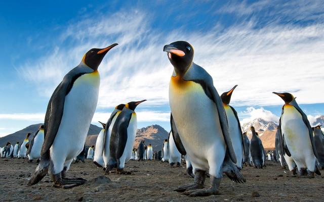 438472_pingviny_korolevskie_koloniya_antarktida_yuzhnaya_1680x1050_(www.GdeFon.ru)_1.GdeFon.ru)