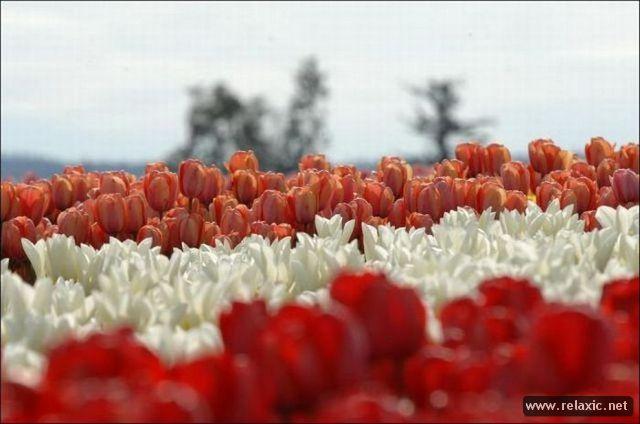 Tulips_006