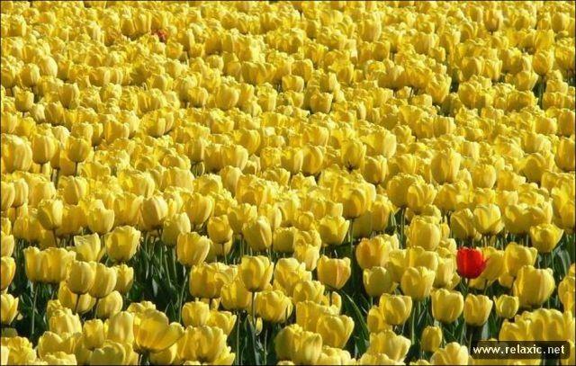 Tulips_011