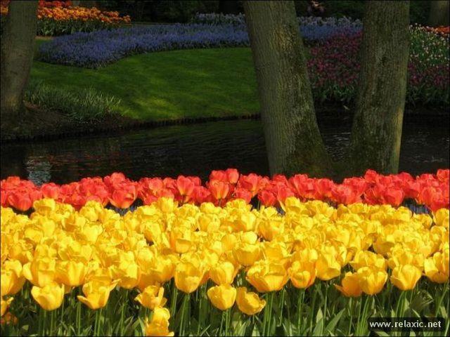 Tulips_013