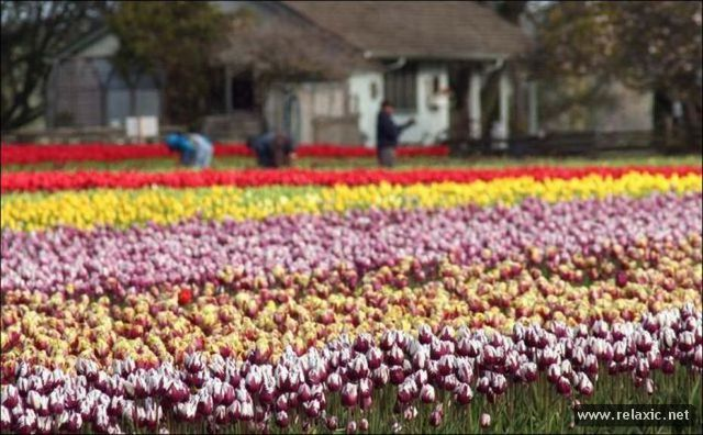 Tulips_015