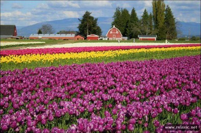 Tulips_016