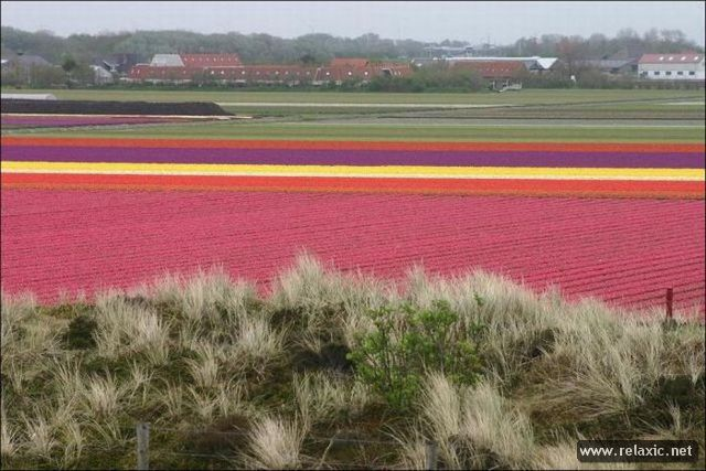 Tulips_017