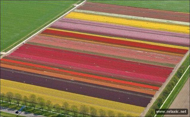 Tulips_019
