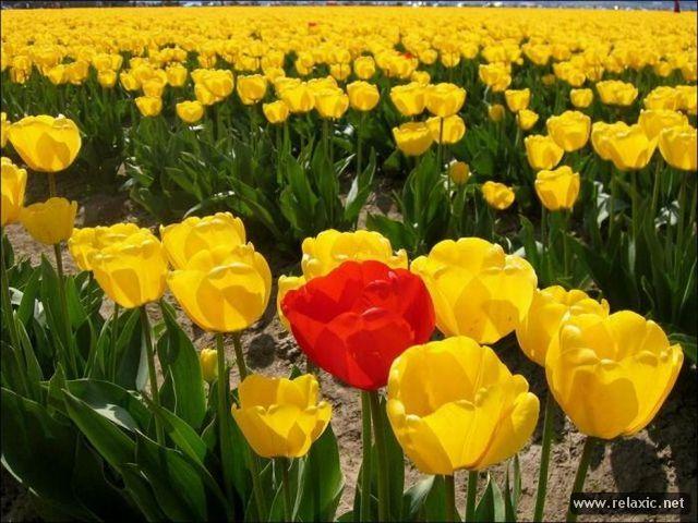 Tulips_022