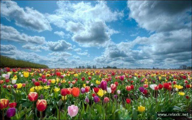 Tulips_025