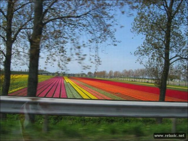 Tulips_026