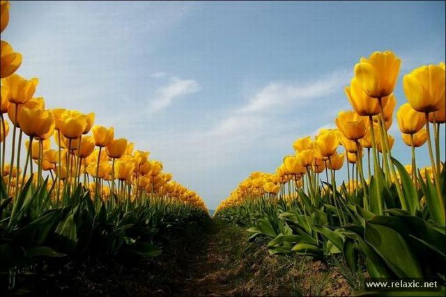 Tulips_029