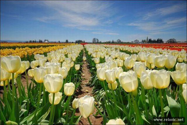 Tulips_030