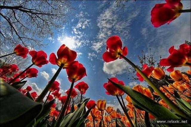 Tulips_031