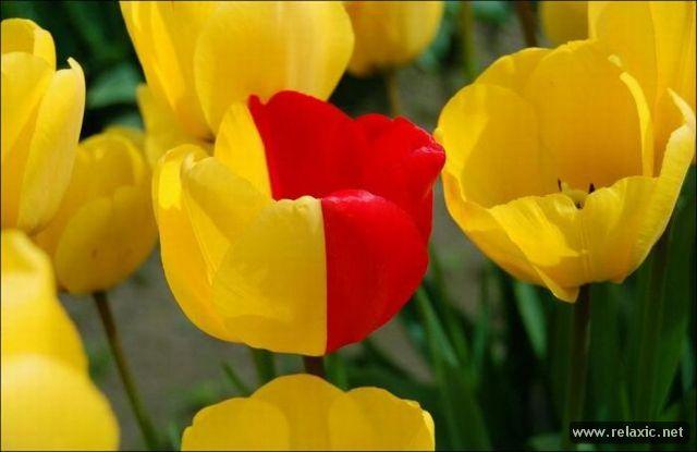 Tulips_033