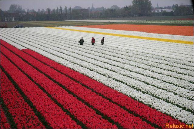 dutch_tulips_027
