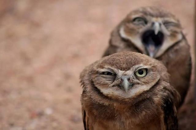 owls16_1