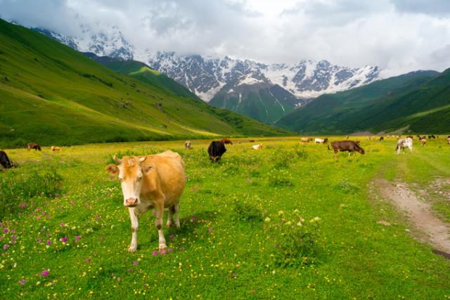 680-cows-inguri-svaneti-georgia_1