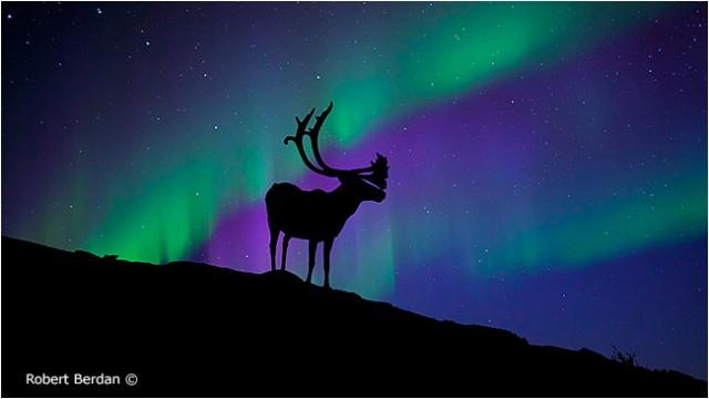 caribou_aurora_1