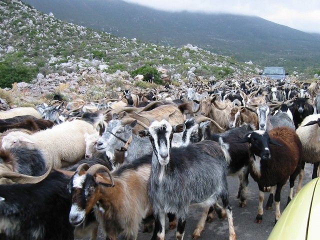 9785060-R3L8T8D-1000-Herd_Of_Goats_1