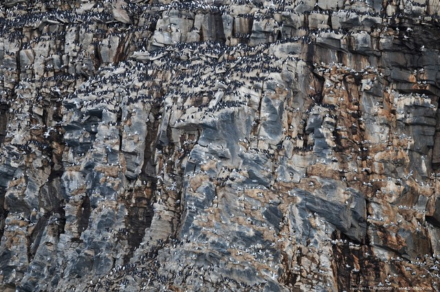 Hornoya bird cliff section gullfest apr 2012 Amundsen Biotope_1