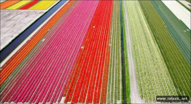 Tulips_018