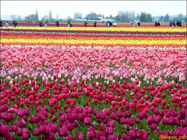 dutch_tulips_005