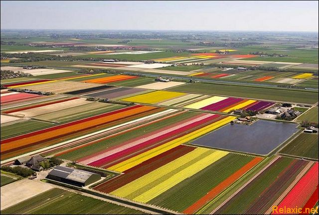 dutch_tulips_008