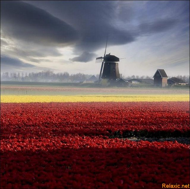 dutch_tulips_010