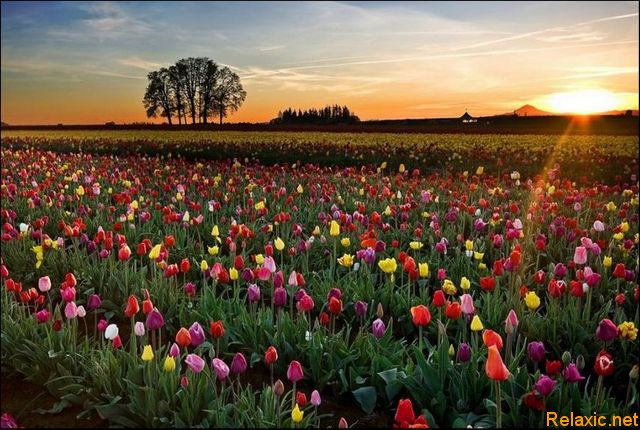 dutch_tulips_012